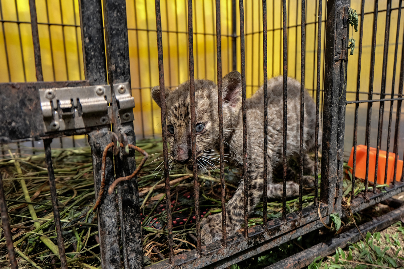 Indonesian police seize leopard from wildlife smugglers