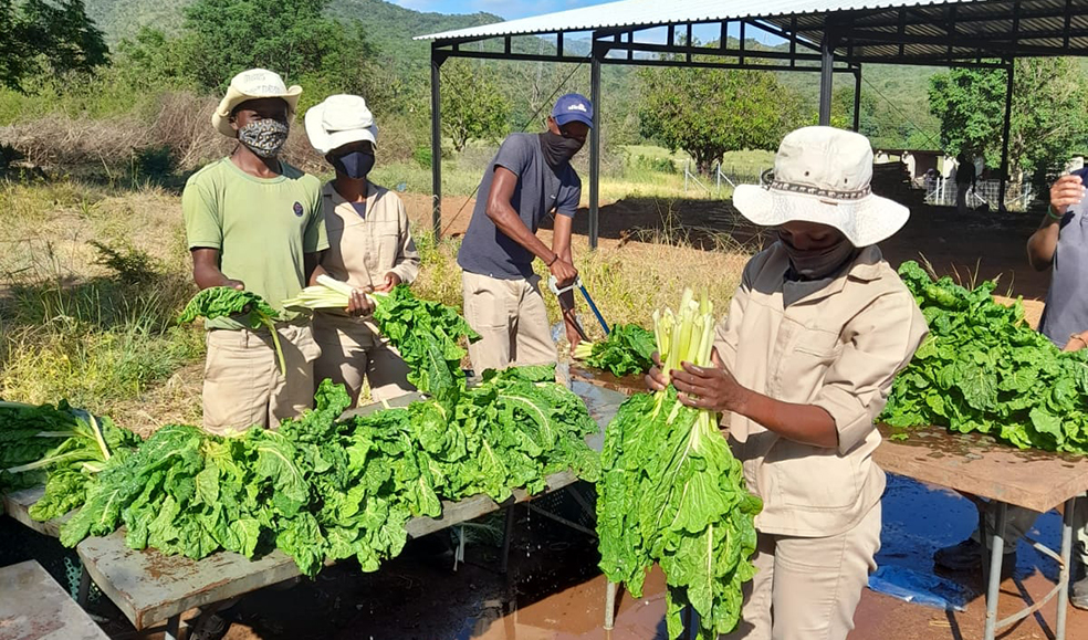 conservationists harvesting spinach