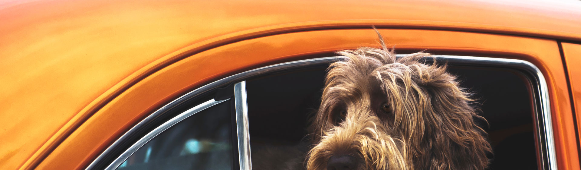 Dog leaning out the window of a vintage orange car