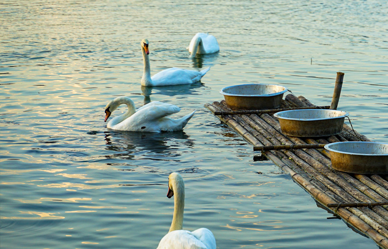 Swans paddling in the morning light
