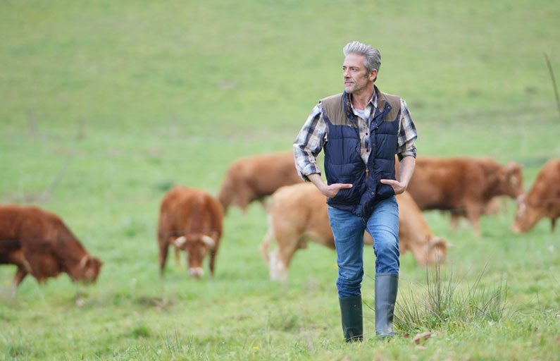 Middle-aged farmer walks in a grassy field with brown cows