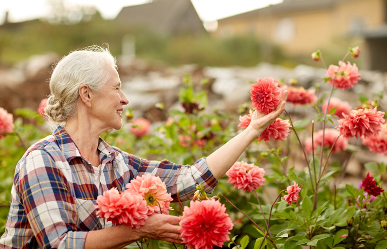 Grey-haired woman admires her dahlias in the garden